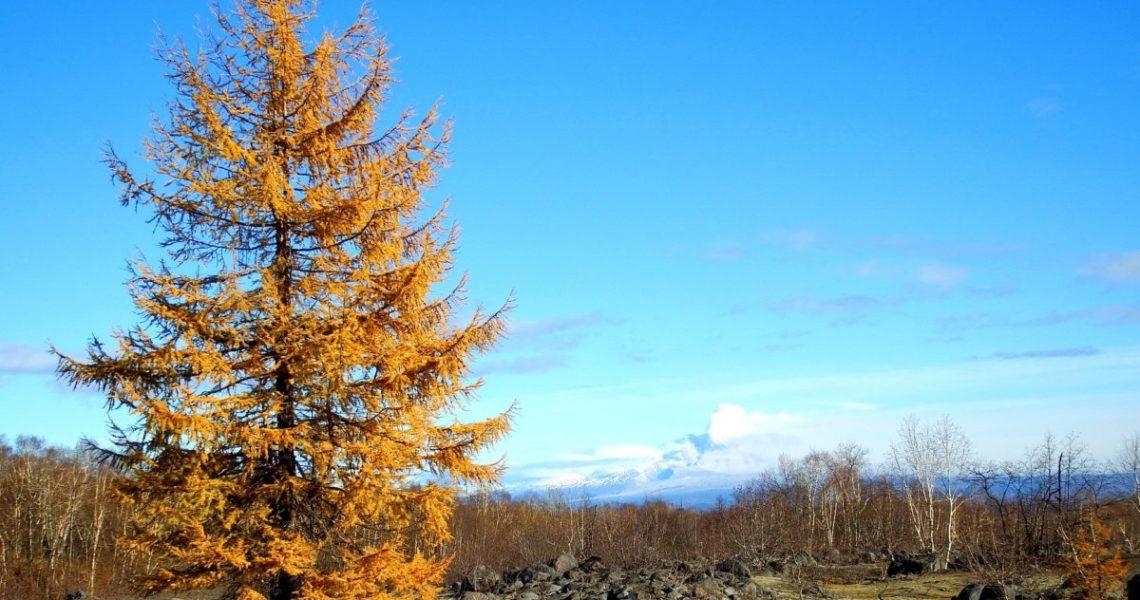 Lärchenbaum